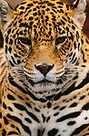 Jaguar, South Africa