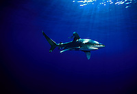 Oceanic whitetip sharks, Carcharhinus longimanus, will closely approach anything they encounter when cruising the open ocean....including photographers. Hawaii.