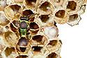 Social Wasp on nest {Hymenoptera} photographed against white background. Masoala Peninsula National Park, north east Madagascar.