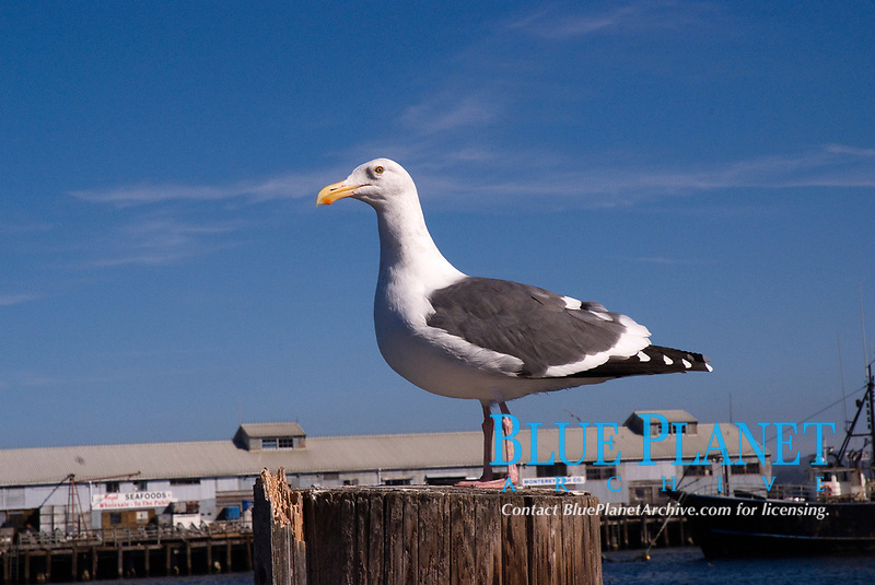 Seagull standing on the pier at Monterey, California, side view