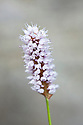 Common bistort (Persicaria bistorta), late April.