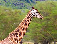 Giraffe (Giraffa camelopardalis), Lake Nakuru National Park, Kenya.  Those are flies around the forehead.