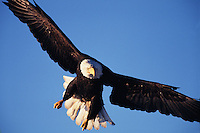 A Bald eagle (Haliaeetus leucocephalus) in flight, preparing for a precision landing.