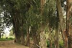 Israel, Menashe Heights, Eucalyptus trees in Ein Meholelim