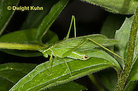 OR11-510z  Fork-tailed Bush Katydid Male camouflaged on leaf, Scudderia furcata