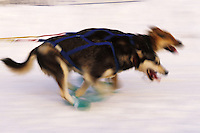 Blurred motion image of the two lead dogs of an Iditarod sled team. Alaska.