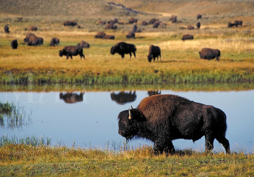 Lone bison, with herd in background, grazing by water in Yellowstone National Park. Yellowstone National Park Wyoming USA.