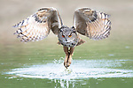 Rare sight of great owl dipping talons in water after dropping prey by Larissa Rand