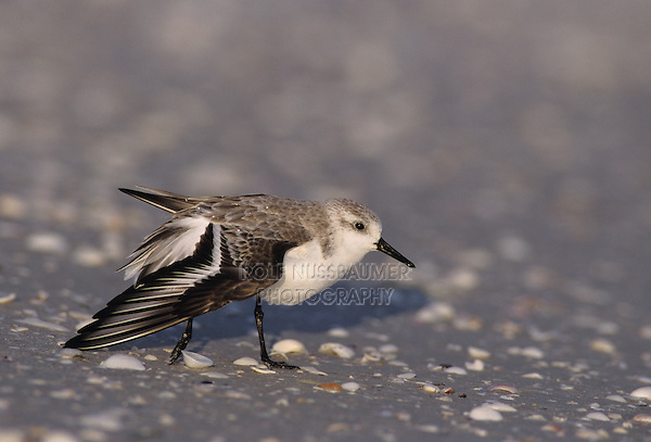Sanderling, Calidris alba,adult preening, Sanibel Island, Florida, USA
