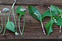 Vergleich Bärlauch (links) und Maiglöckchen (rechts), Blätter, Blatt, Blüten, Blüte. Bärlauch, Bär-Lauch, Allium ursinum, Ramsons, Wood Garlic, Wood-Garlic, buckrams, broad-leaved garlic, L'ail des ours, ail sauvage. Maiglöckchen, Gewöhnliches Maiglöckchen, Mai-Glöckchen, Convallaria majalis, Life-of-the-Valley, Lily of the valley, Muguet, muguet de mai