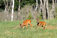 Europäisches Reh, Rehwild, Reh-Wild, Rehbock und Ricke, Männchen und Weibchen, Bock, Reh-Bock, Capreolus capreolus, European roe deer, western roe deer, roe deer, Le chevreuil