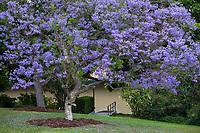 Jacaranda mimosifolia (Jacaranda, Black Poul), blue flowering tree; Los Angeles County Arboretum and Botanic Garden