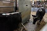 05/04/2013 Standerwick Farmers Market. Store cattle sale.