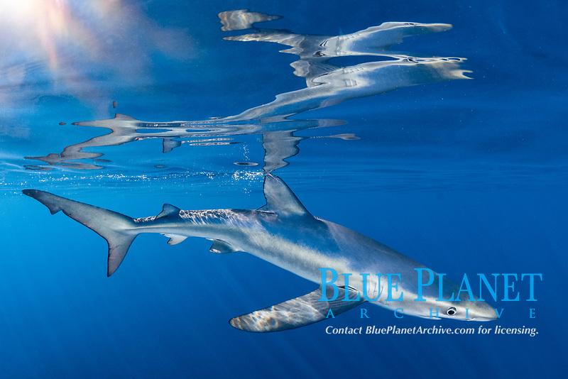 blue shark, Prionace glauca, Cabo San Lucas, Baja, Mexico, Pacific Ocean