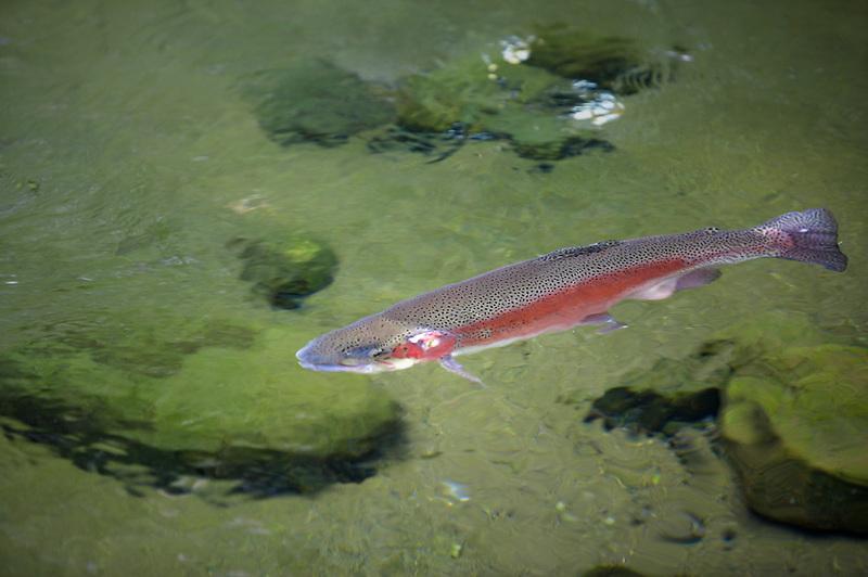 Large Rainbow Trout in pond at Bonniville Fish Hatchery. Oregon