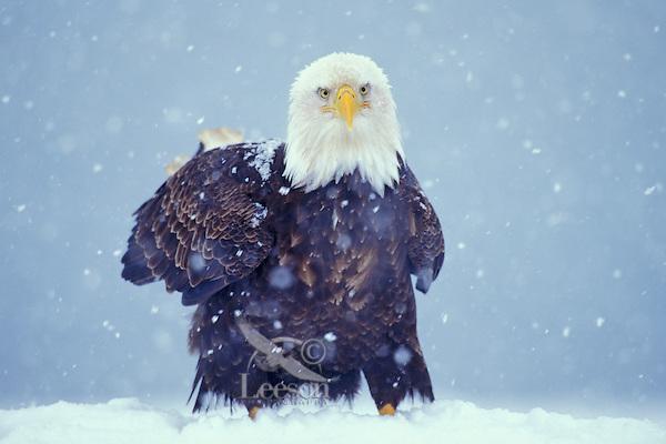 Bald Eagle (Haliaeetus leucocephalus) in winter snow.