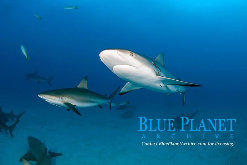 Caribbean reef shark, Carcharhinus perezi, Bahamas, Atlantic Ocean