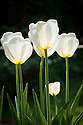 Tulip 'White Triumphator' (Lily-flowered Group), late April.