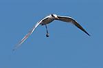 Least Tern with Clam, Bolsa Chica Wildlife Refuge, Southern California