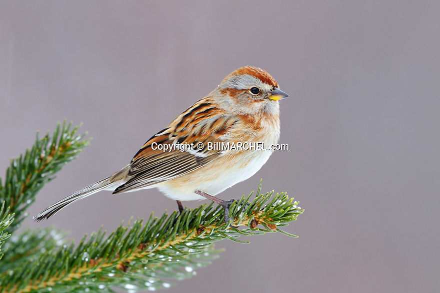 01093-004.19 Tree Sparrow is perched on spruce tree during snow fall. Cold, cover, survive, backyard, habitat.