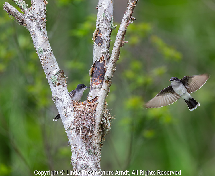 Eastern kingbird flying to the nest in northern Wisconsin.