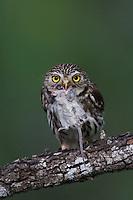 Ferruginous Pygmy-Owl, Glaucidium brasilianum, adult with mouse prey, Willacy County, Rio Grande Valley, Texas, USA