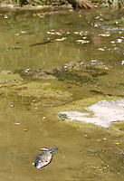 Dead fish are visible Wednesday, July 14, 2021, in Spring Creek just north of downtown Springdale. A city employee Wednesday morning found thousands of dead fish, both large and small and noticed a smell of ammonia in the Creek. Check out nwaonline.com/210715Daily/ and nwadg.com/photos for a photo gallery.(NWA Democrat-Gazette/David Gottschalk)