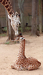 """CONTACT FILED:  HERMANN PARK ZOO-HOUSTON-ANIMALS..(ROLL 6) 10/8/02--Tufani, a 1 month old Masai Giraffe gets some """"motherly love"""" from his mother """"Tyra"""" at the Houston Zoo.  HOUCHRON CAPTION  (10/16/2002):  Stormy, left, getting a nudge from mom Tyra, is one zoo baby with no shortage of maternal care.  http://www.chron.com/cs/CDA/story.hts/features/1618655.."""