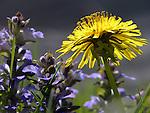 Dandelion and Ajugas in Garden, New England, USA