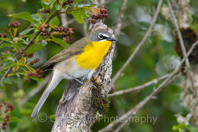Yellow-breasted Chat (Icteria virens). Oregon. May.
