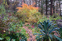 Kale Lacinata, Acer griseum, Acer palmatum, Hibiscus, Weigela, garden path with fallen foliage in autumn garden, trellis, rainbow chard vegetable aka Cavalo Nero kale
