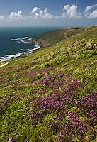 Europe/France/Normandie/Basse-Normandie/50/Manche/Presqu'île de la Hague/ Env de Jobourg:Lande de Bruyère à la  Baie d'Ecalgrain