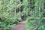 Trail in Redwoods, Redwood National Park, Prarie Creek Redwoods State Park, California, USA  Salmon berries and huckleberries cover the forest floor while Coast Redwood rise into late evening light.  Del Norte Coast south of Crescent City, California near the Smith River.  Redwood National and Redwood State Parks include numerous camp grounds, rivers, hiking, fishing, camping, photography, birding, biking and other outdoor adventures. Long exposure at dusk.  Represented at www.spacesimages.com
