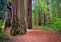 Redwoods with path and big leaf maple tree in fall color. Jedediah Smith Redwoods State Park, California