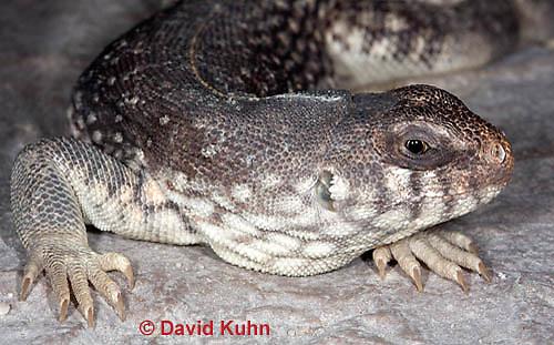 1119-0807  Desert Iguana Head and Ear Detail, Dipsosaurus dorsalis © David Kuhn/Dwight Kuhn Photography