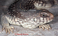 1119-0807  Desert Iguana Head and Ear Detail, Dipsosaurus dorsalis © David Kuhn/Dwight Kuhn Photography