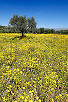 A field with daisies in Viglafia at the Southern Peloponnese, Greece