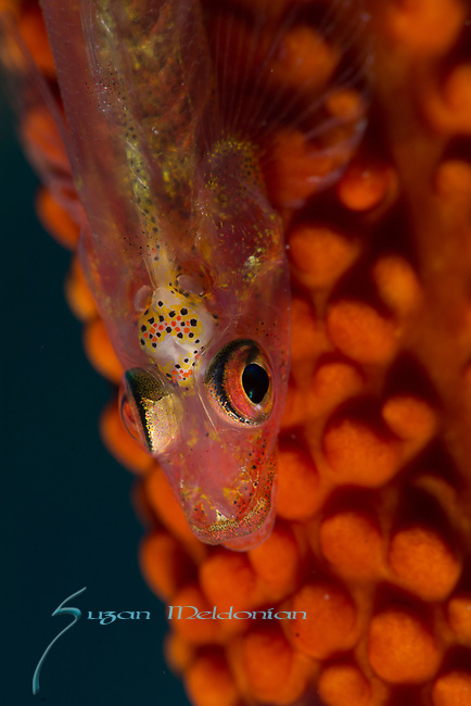 Goby brains