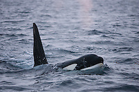 Killer whale, Orcinus orca, Adult male surfacing and spouting, Tysfjord, Arctic Norway.
