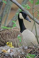 Canada Goose, on the nest with goslings, Strawbridge Lake, New Jersey
