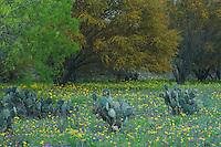 Wildflower field with Texas Prickly Pear Cactus (Opuntia lindheimeri) Huisache tree (Acacia farnesiana) Squaw Weed (Senecio ampullaceus)Texas Bluebonnet (Lupinus texensis),Three Rivers, Live Oak County, Texas, USA