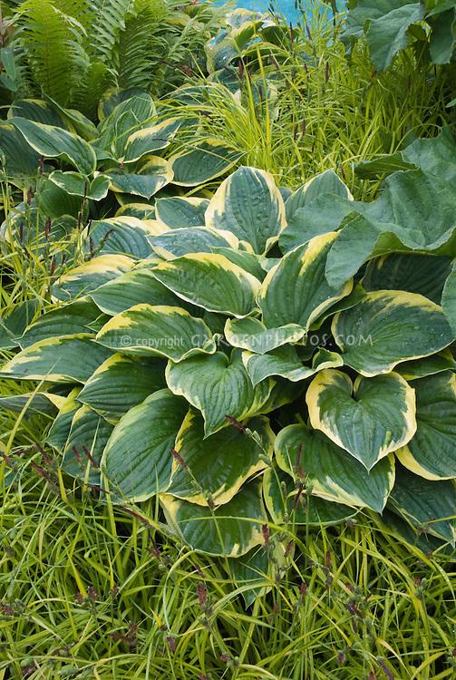 Hosta Northern Exposure and Carex elata 'aurea'