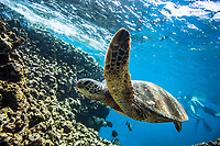 A Hawaiian green sea turtle (or honu) swims near the reef with snorkelers in the distance at Shark's Cove, O'ahu.