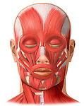 Facial (Face) Muscles. Accurately depicts the following muscles: frontalis, orbicularis oculi, nasalis, zygomaticus major and minor, orbicularis oris, risorius, mentalis, masseter, temporalis, depressor anguli oris, platysma, and sternocleidomastoid.
