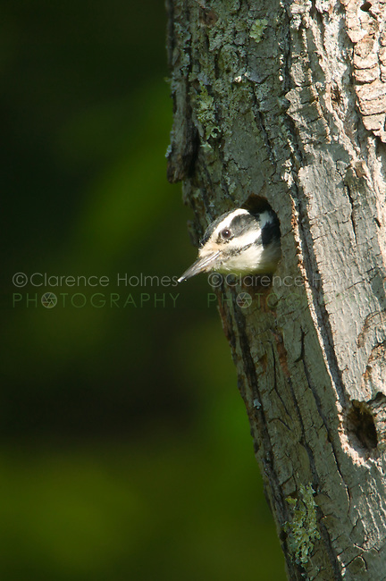 Hairy Woodpecker (Picoides villosus) in its nest cavity in a tree, Pharaoh Lake Wilderness Area, New York