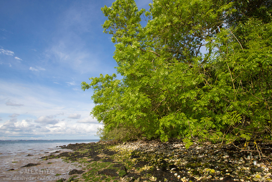 Ash Trees (Fraxinus excelsior) growing along shoreline. Studland Bay, Dorset, UK. May.