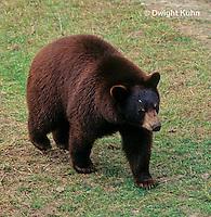 MA01-143z  Black Bear - brown phase - Ursus americanus