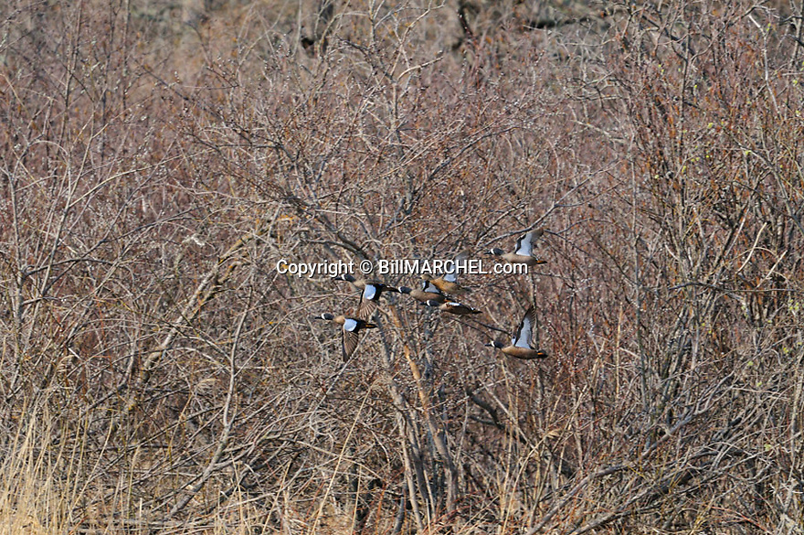 00315-063.17 Blue-winged Teal flock in flight with trees in background.   Hunt, wetlands, waterfowl.