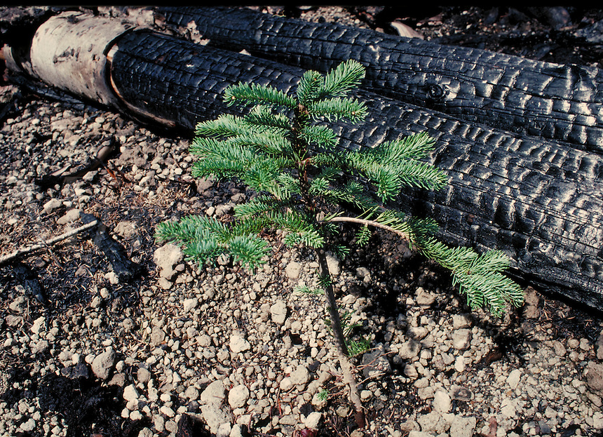 new growth of fir tree in slash burn setting in forest. rebirth, green, logging, burned, trees. Washington.