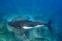 humpback whale, Megaptera novaeangliae, in coral reef, Vavau, Tonga, Pacific Ocean